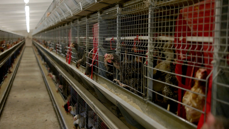 Nuisances liées à un élevage de poules