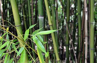 Posons les vraies questions : l'article 671 du code civil s'applique-t-il à des bambous ?